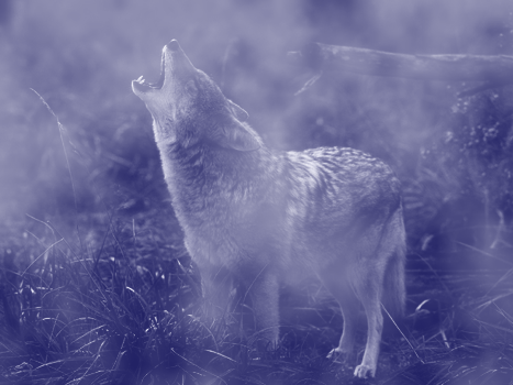 photomontages Coyote10