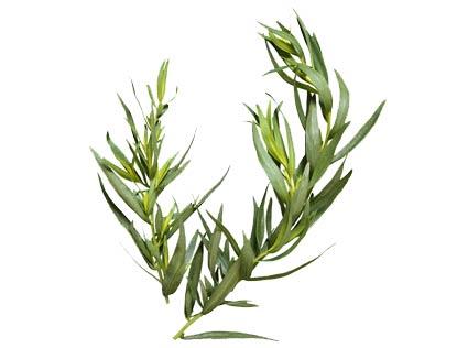 estragon - l'herbe aux dragons Estrag10