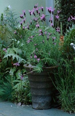 Le jardin - Page 3 Lavand10