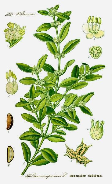 Buxus sempervirens - buis commun 367px-11