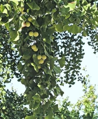 Ginkgo biloba - arbre aux quarante écus 497px-10