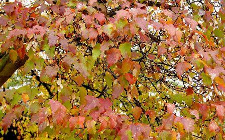Acer ginnala et Acer tatarica ssp ginnala - érable de Tartarie  800px-24