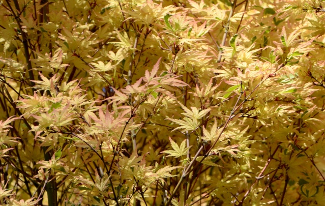 Acer palmatum 'Butterfly' 87076910