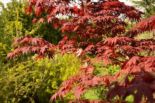 Acer palmatum 'Bloodgood' Acer_p14