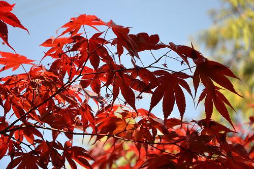 Acer palmatum 'Bloodgood' Acer_p15