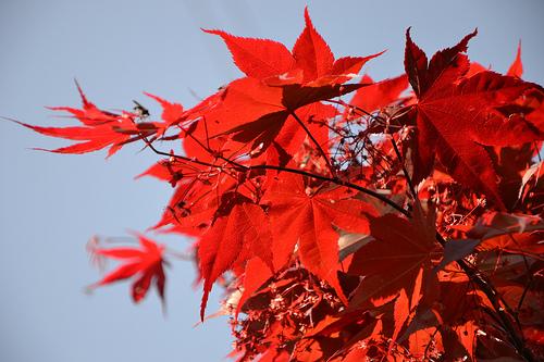 Acer palmatum 'Bloodgood' Acer_p16