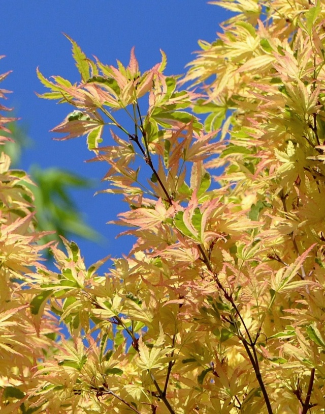 Acer palmatum 'Butterfly' Acer_p21