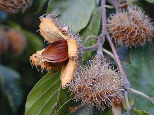 Fagus sylvatica - hêtre commun, fayard Buchec10
