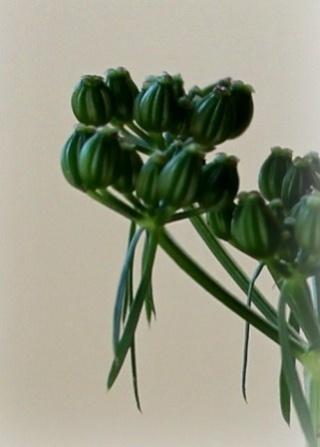 Hebe ochracea, Bryonia cretica, Aethusa cynapium, Poncirus trifoliata [devinette] Dev_211