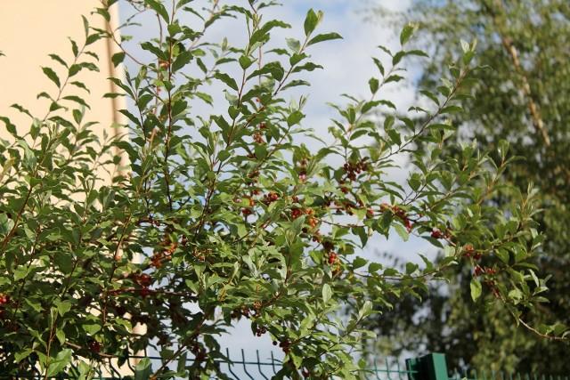 Geranium sanguineum, Muscari, Elaeagnus umbellata [devinette] - Page 2 Eleagn11