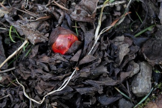 Rheum - rhubarbe - jeune pousse [devinette] Img_6410