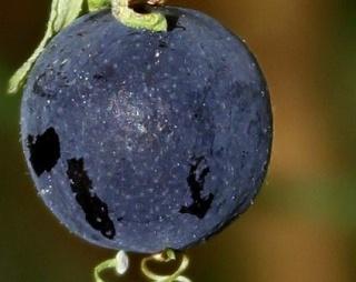 Passiflora 'Sunburst' - fruit [devinette] Img_7210