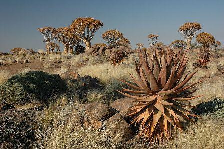 Aloidendron dichotomum (= Aloe dichotoma) Namibi10