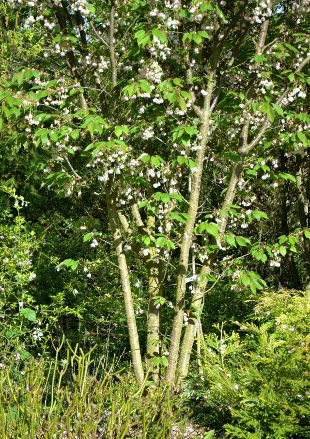 Prunus serrulata - cerisiers à fleurs du Japon Prunus10