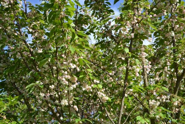 Prunus serrulata - cerisiers à fleurs du Japon Prunus11