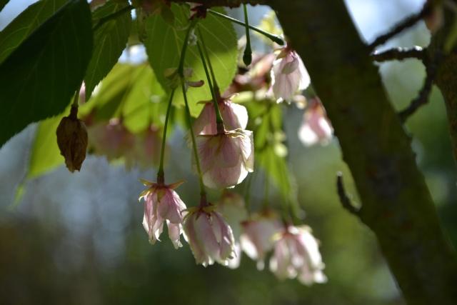 Prunus serrulata - cerisiers à fleurs du Japon Prunus13