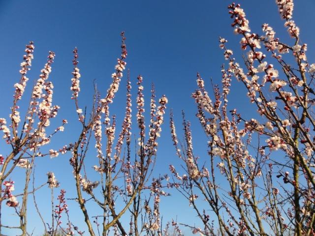 Le printemps  dans mon jardin Abrico10