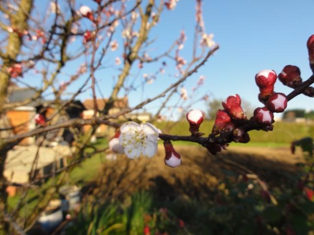 Le printemps  dans mon jardin Abrico11