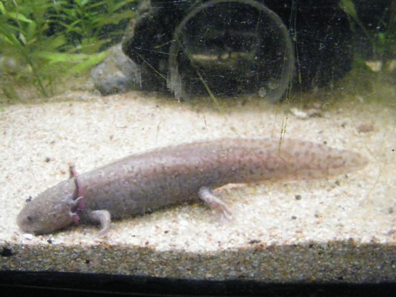 Les Axolotl chez Eric Octobr24