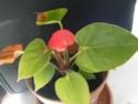 Jolie petite fleur rouge Anthurium 2014_040
