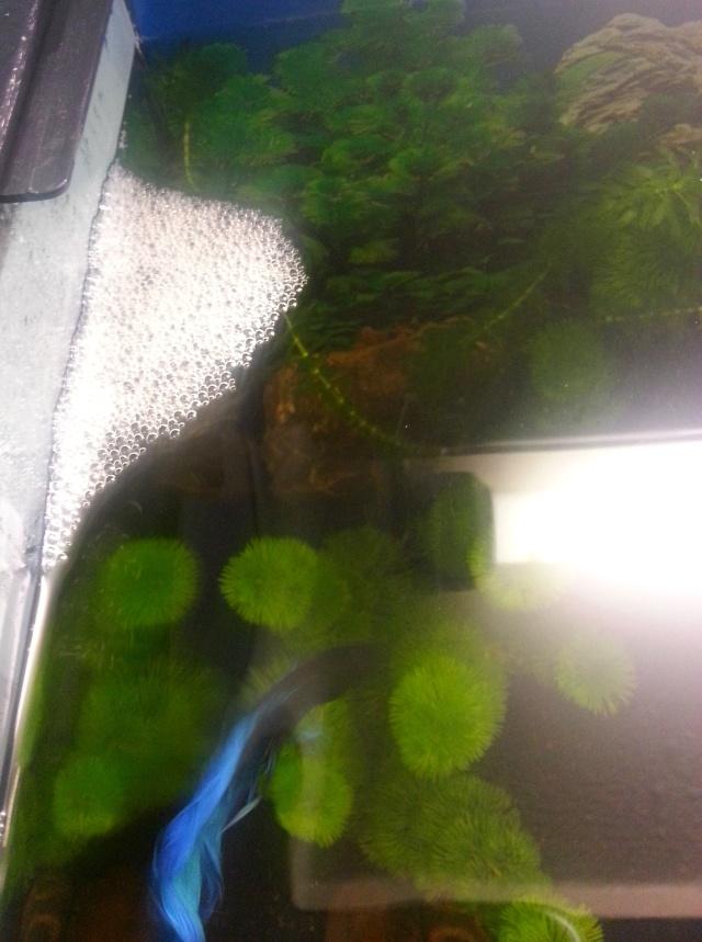 Mon 75L : Betta splendens, ancistrus et barbus cerise 20140414