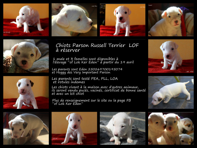 Chiots Parson Russell Terrier LOF Pizap_15