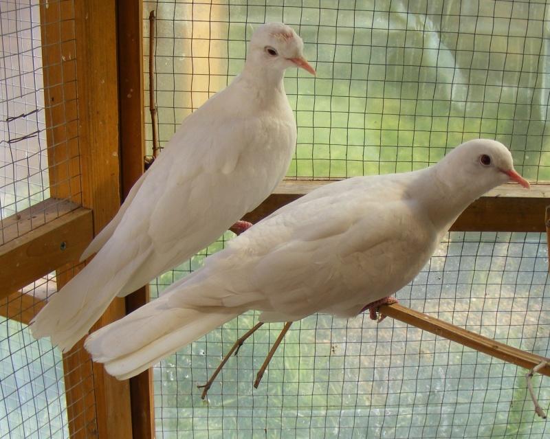 Couples de Tourterelles Rieuses blanche domestique 110