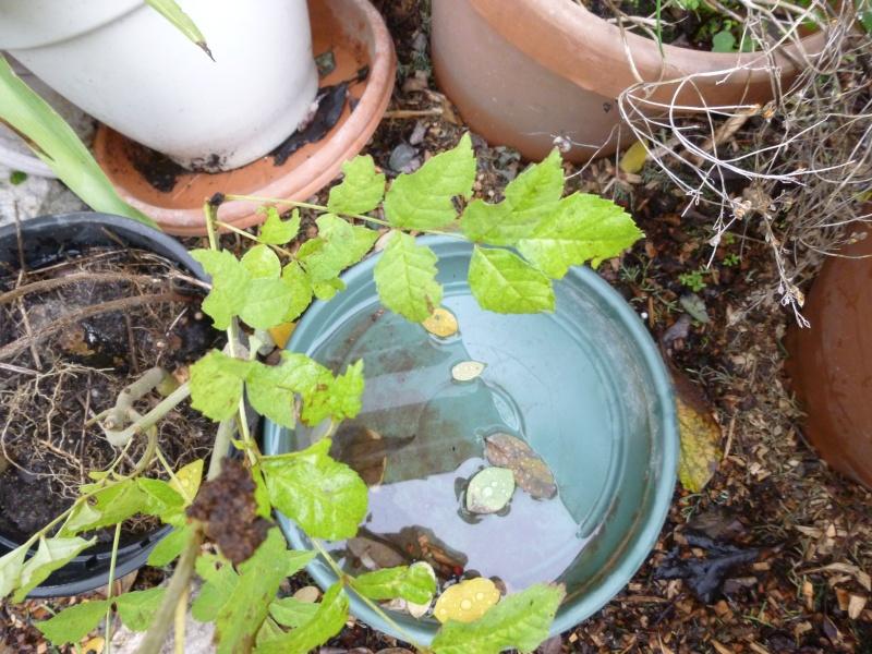 Plante en pot : Frêne  P1010311