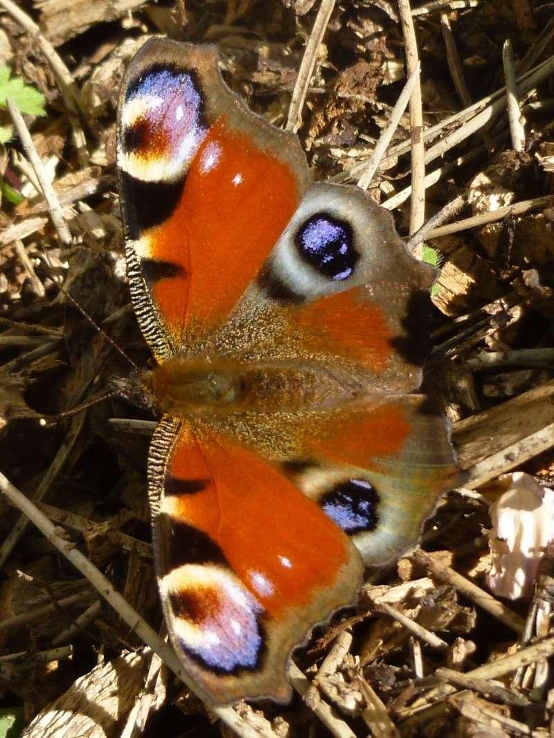 Jolis papillons P1020316