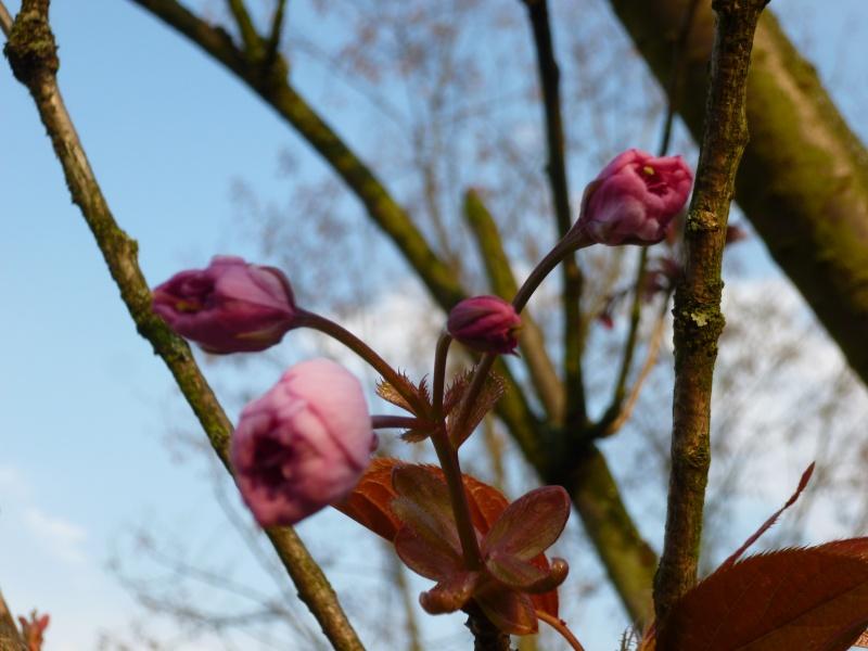 Prunus P1020414