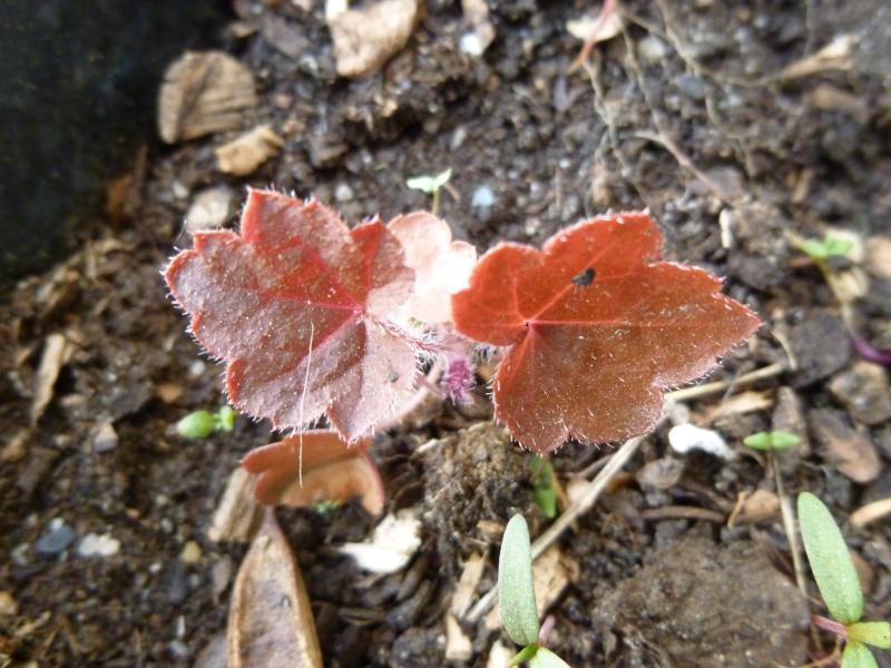 petite plante feuilles rouges P1020722