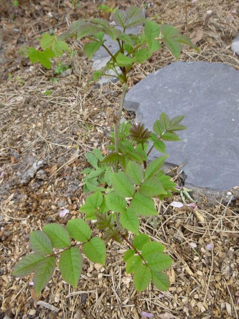 Robinier le faux acacia - Page 2 P1020912