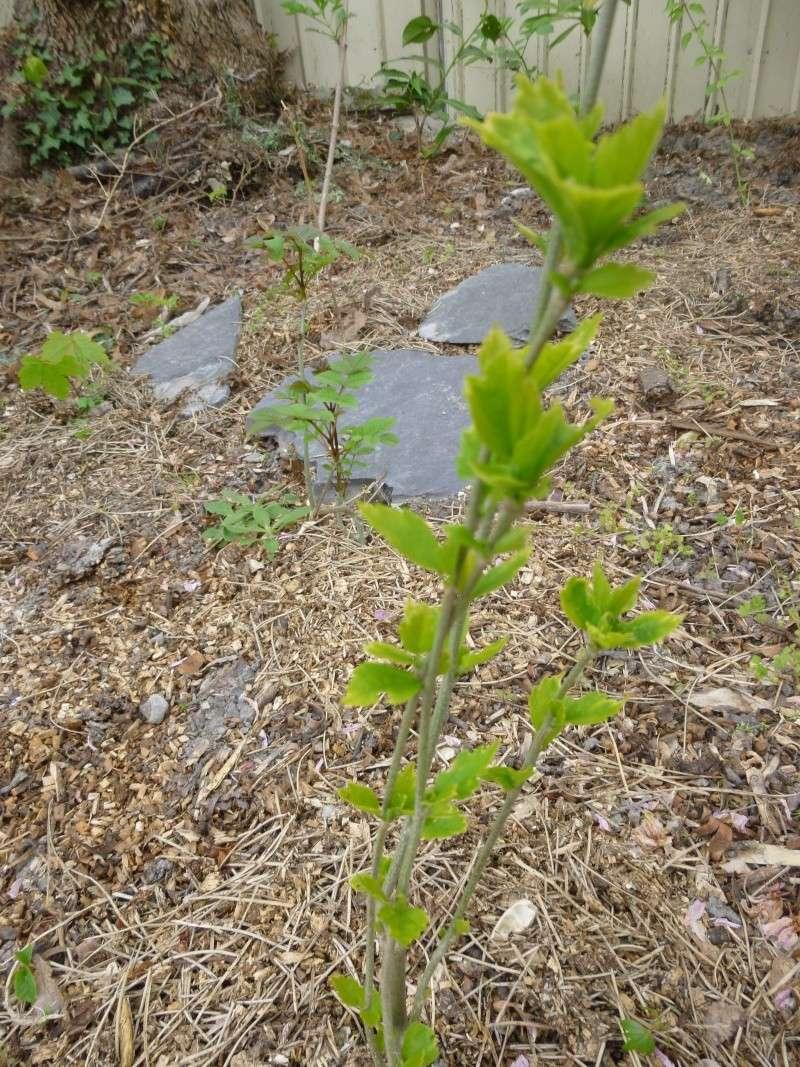Arbre...?  Hibiscus Syriacus P1020914