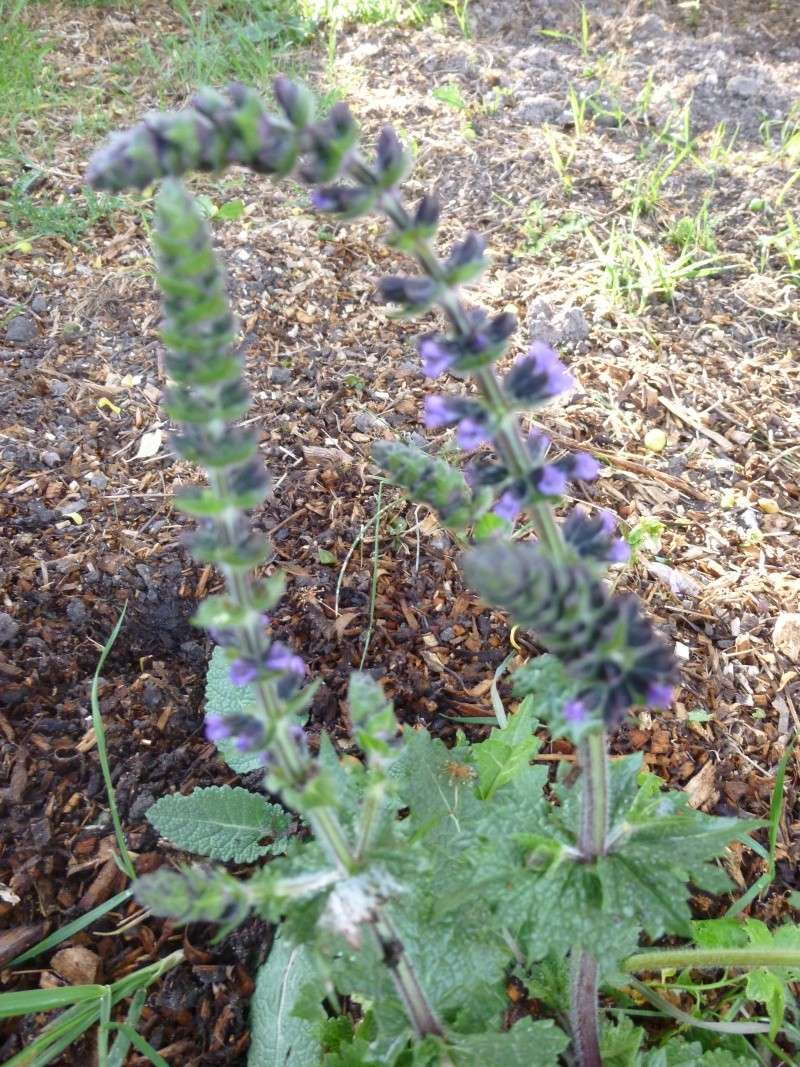 mauvaise herbe famille lamier? Salvia pratensis P1030015