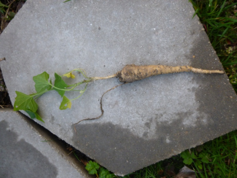 Plante grimpante Envahissante 1 P1030111