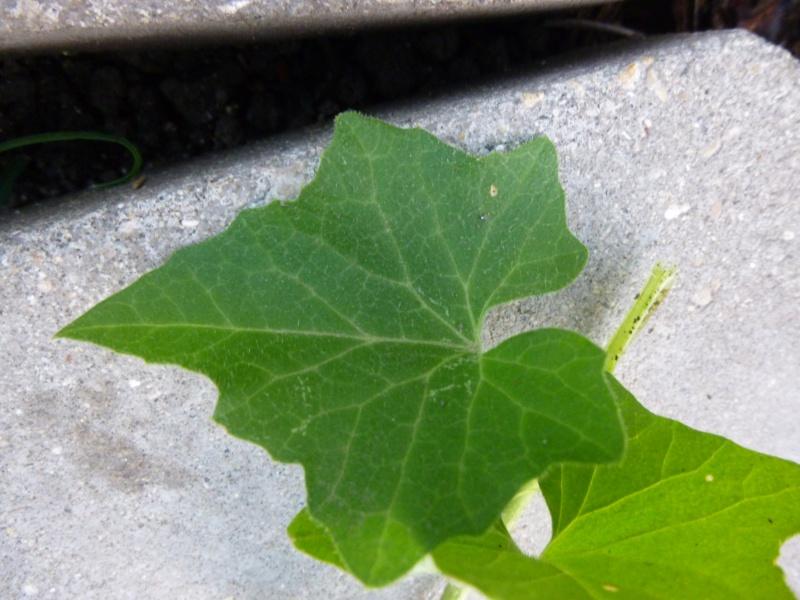 Plante grimpante Envahissante 1 P1030112