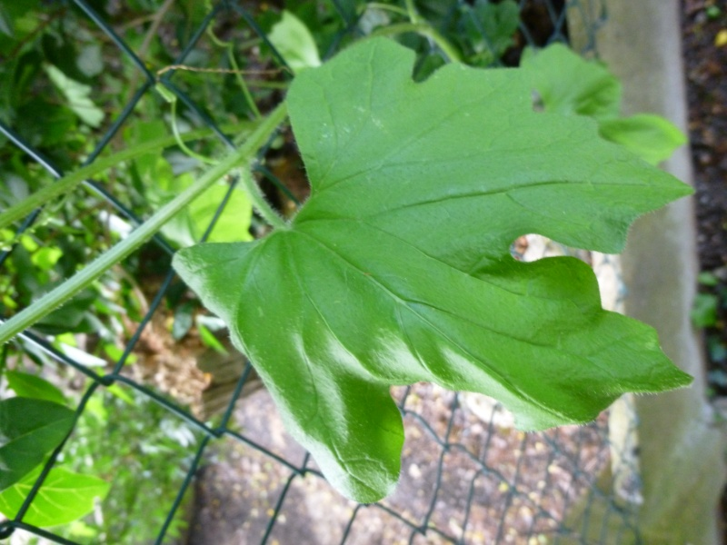 Plante grimpante Envahissante 1 P1030113