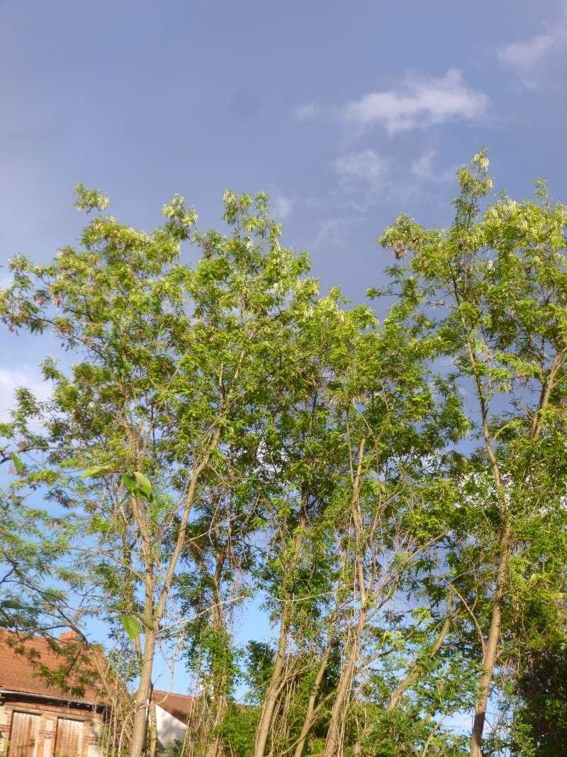 Robinier le faux acacia - Page 2 P1030115