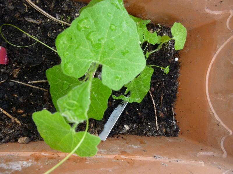 plante grimpante P1030414