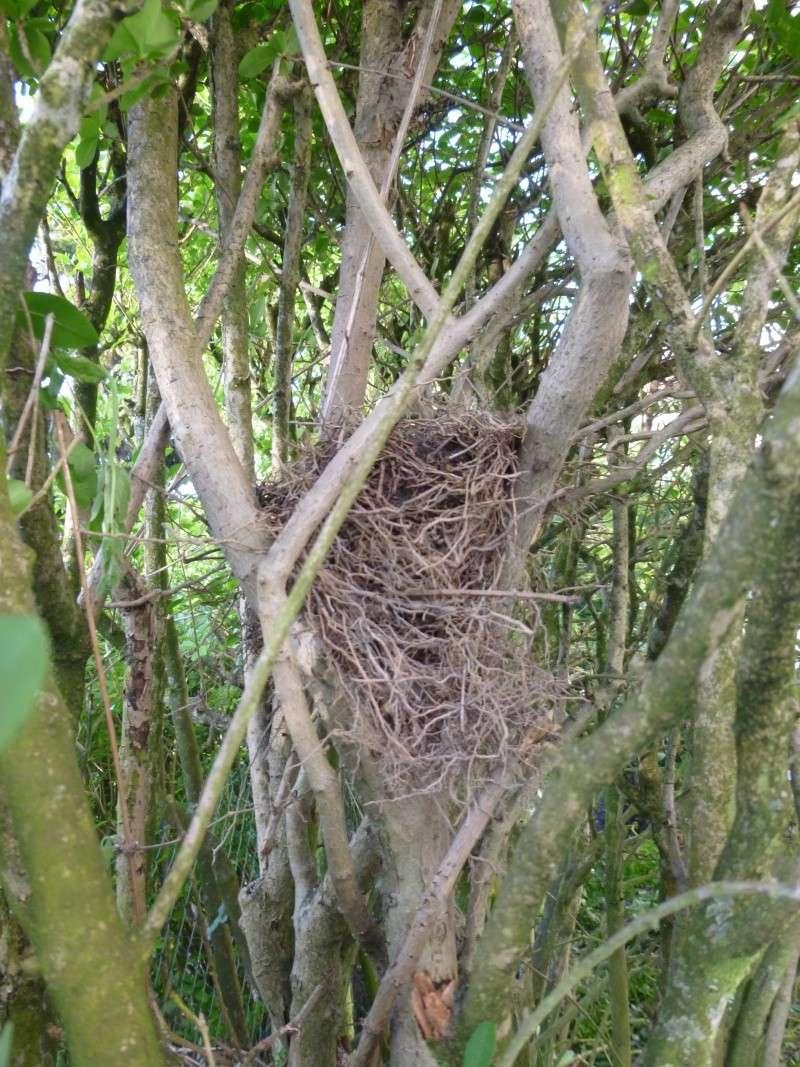 nid dans la haie P1030423