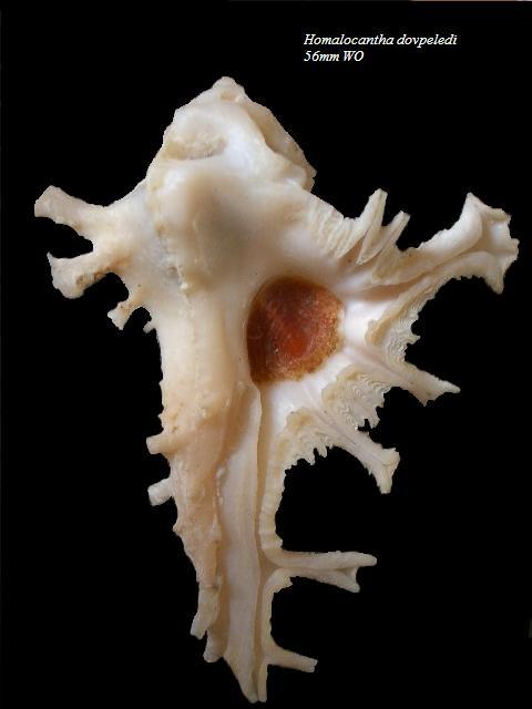 Homalocantha dovpeledi - Houart, 1982 Homalo10
