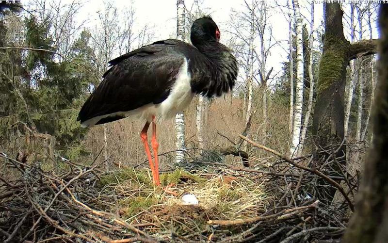 Black Stork Cam 2014 2014-154