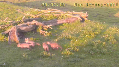 Fox Cam in the Netherlands 2014-199