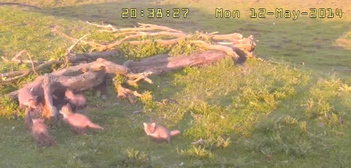 Fox Cam in the Netherlands 2014-201