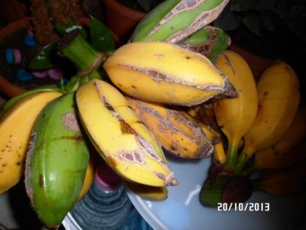 La culture et l'entretien d'un bananier - Page 4 Sam_3114