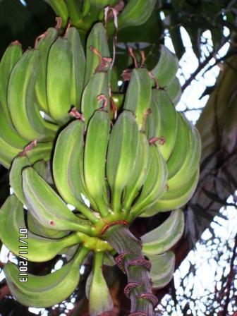 La culture et l'entretien d'un bananier - Page 4 Sam_3219