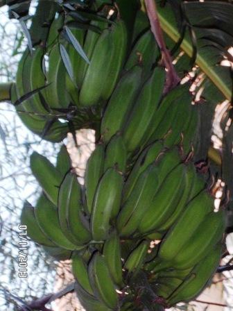 La culture et l'entretien d'un bananier - Page 4 Sam_3220