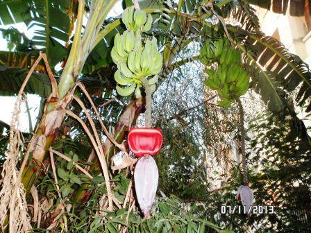 La culture et l'entretien d'un bananier - Page 4 Sam_3221