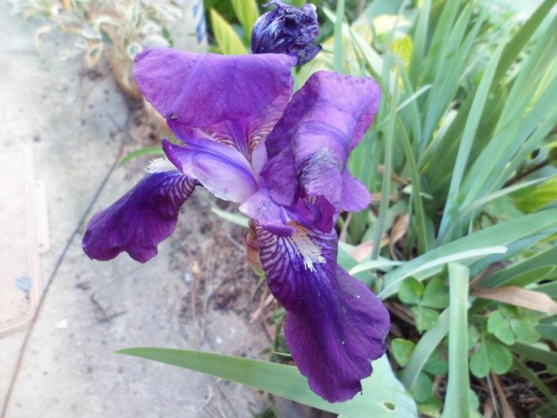 Les iris -culture, multiplication, entretien, variétés. - Page 2 Sam_3412