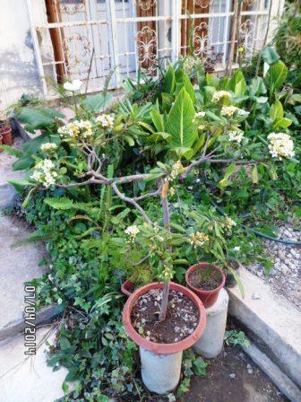 mes bonsaïs - Page 5 Sam_3419